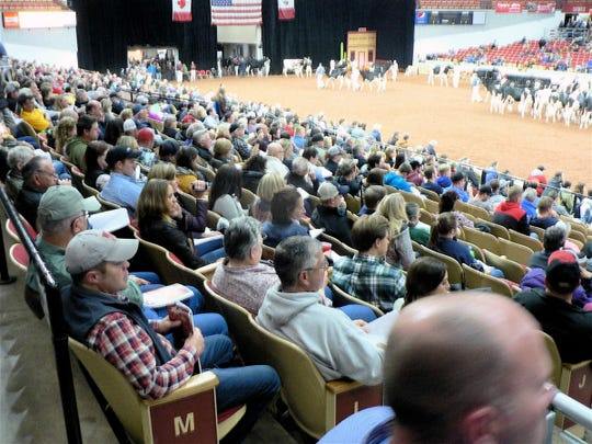 The biggest crowds at the cattle judging come during the Holstein classes Friday afternoon and Saturday.