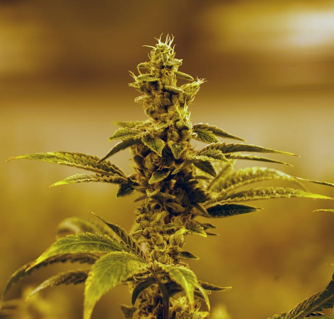 A marijuana plant grows under indoor lighting at The Green Solution cannabis dispensary in Denver.