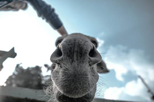 Animal Close Up Donkey 87001