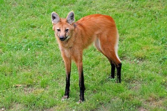 Rosita Maned Wolf