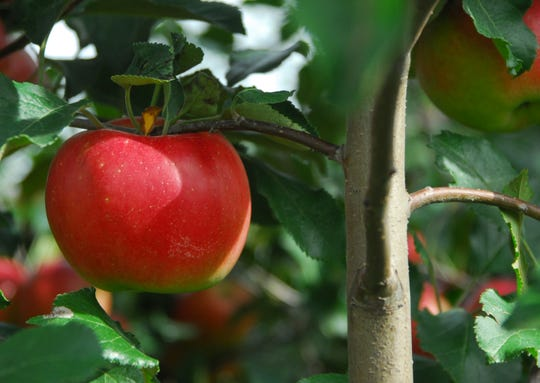 A Jonathan apple at Gull Meadow Farms in Richland.