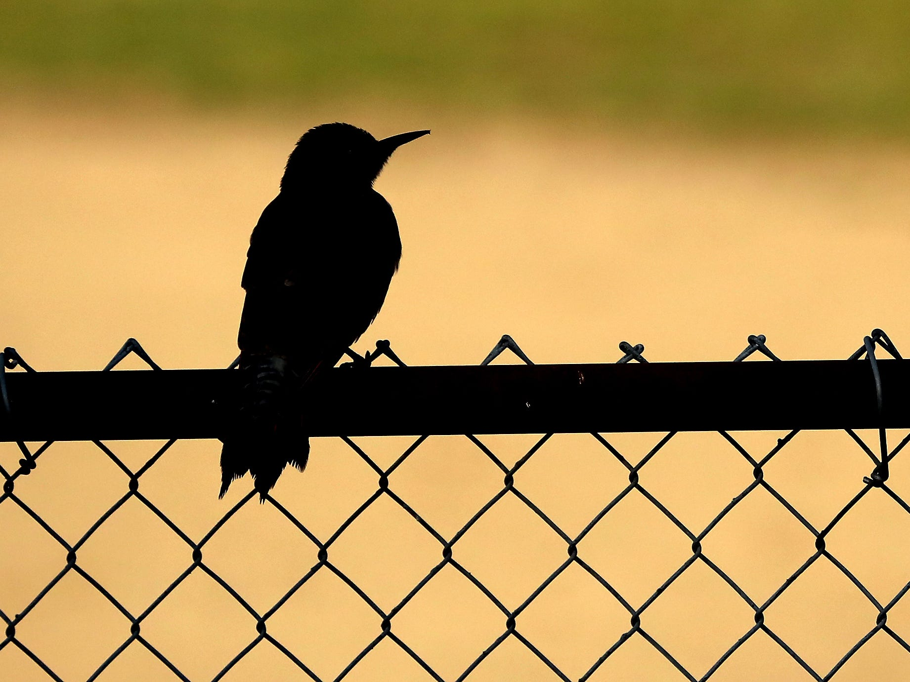 A northern flicker is silhouetted agianst the ball field as it perches on the fence behind View Ridge Elementary School in Bremerton on Wednesday, October 10, 2018.