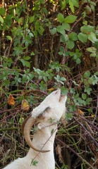 A goat from Rent-a-Ruminant LLC stretches in October 2018 to reach the leaves of a blackberry bush growing in Kitsap, Washington.
