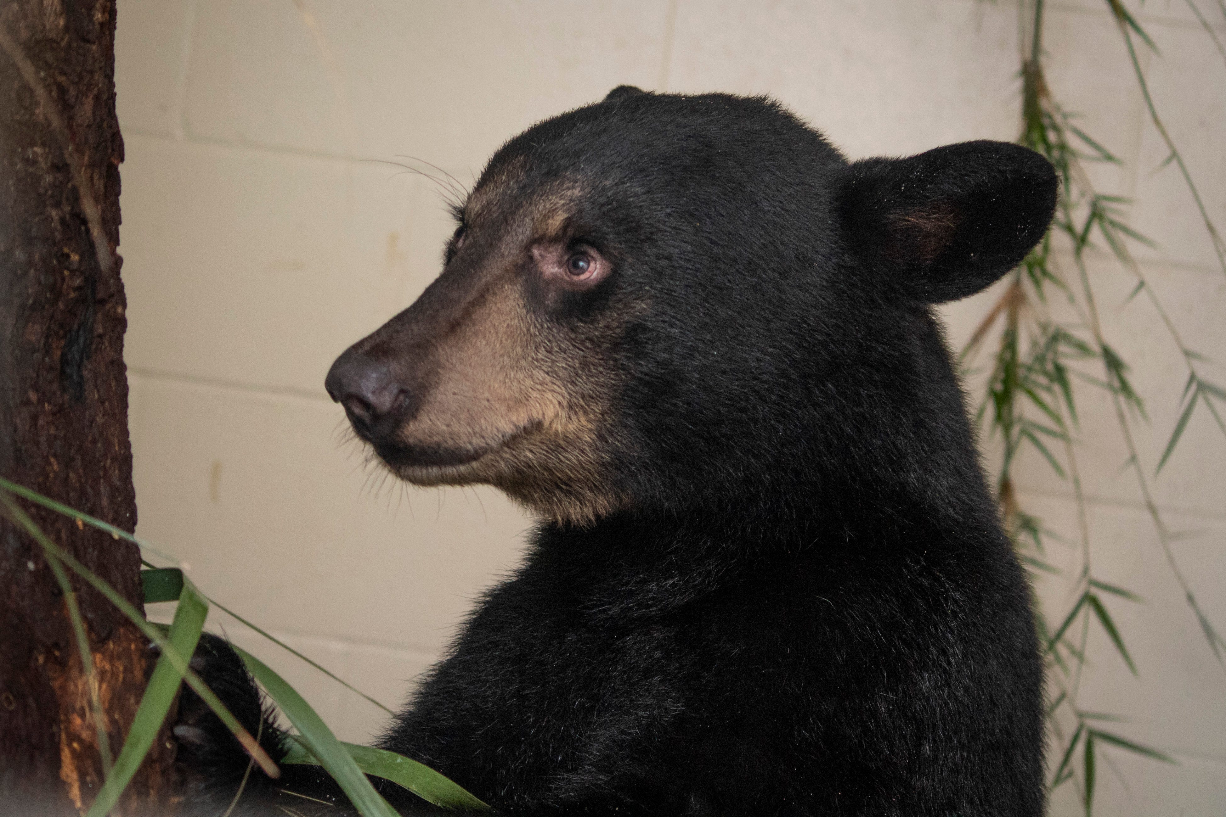 9c6e0ed9-1ff6-4d35-9ebb-1f0aeb35a3c8-181001053 Oh honey! Rescued bears will find new home at Brevard Zoo