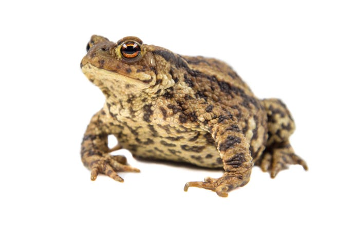 Fall may mean falling leaves in other parts of the country. But in my neighborhood, it means hopping toads.