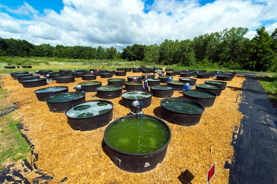 In July 2016, combinations of algal species were grown in 80 cattle tanks in a federally funded biofuels experiment at the University of Michigan's E.S. George Reserve near Pinckney, Mich. Each of the 290-gallon cattle tanks contains from one to four freshwater algal species.
