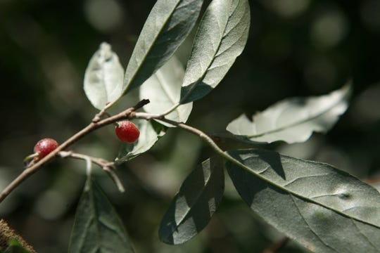 Autumn Olive is one of the most common invasive species in Michigan; it can be identified by the silvery colored backing of its leaves.
