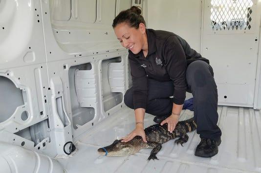 Ap Lake Michigan Alligator 1