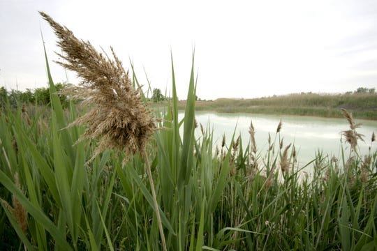 Phragmites, an invasive reed, is on Fighting Island, an island in the Detroit River between Wyandotte, MI and LaSalle, Ontario, in June 2009.