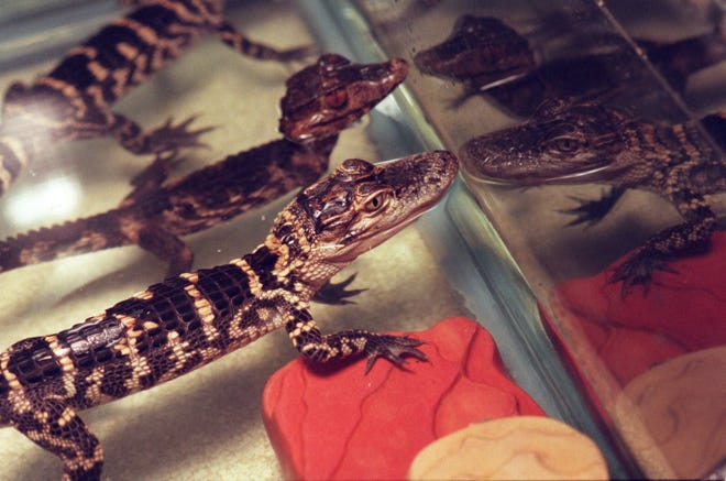 These baby alligators were confiscated from a home in Troy.