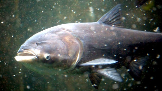 A bighead Asian carp feeds on plankton at the Shedd Aquarium in Chicago, Ill. in September 2010. The carp are filter feeders and can eat about a third of their body weight per day in food.