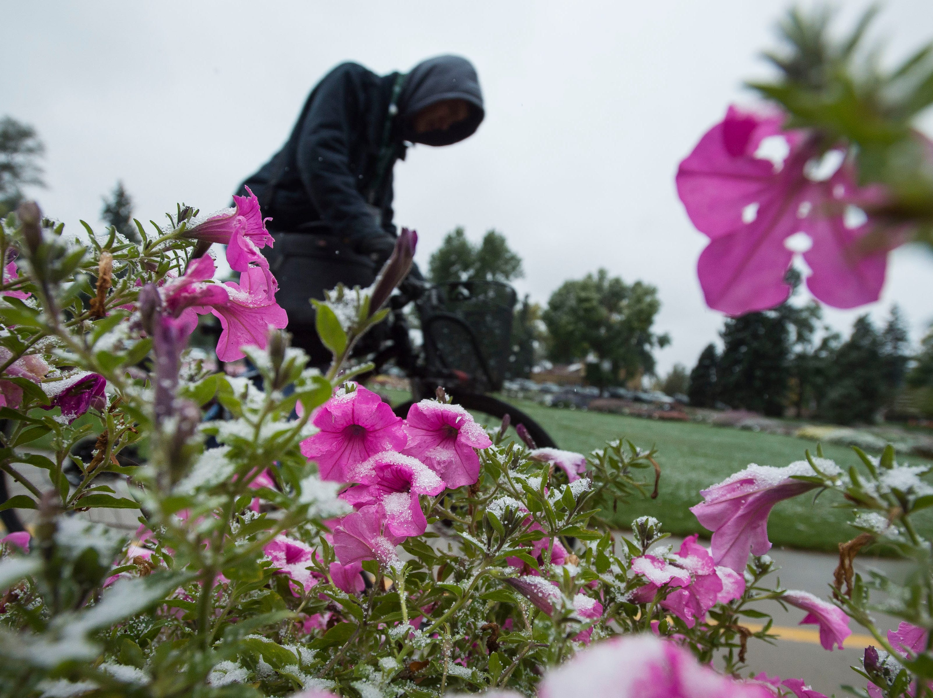 Snow clings to flowers as a cyclist rides through the Annual Flower Trial Garden on Wednesday, Oct. 10, 2018, on the Colorado State University campus in Fort Collins, Colo.