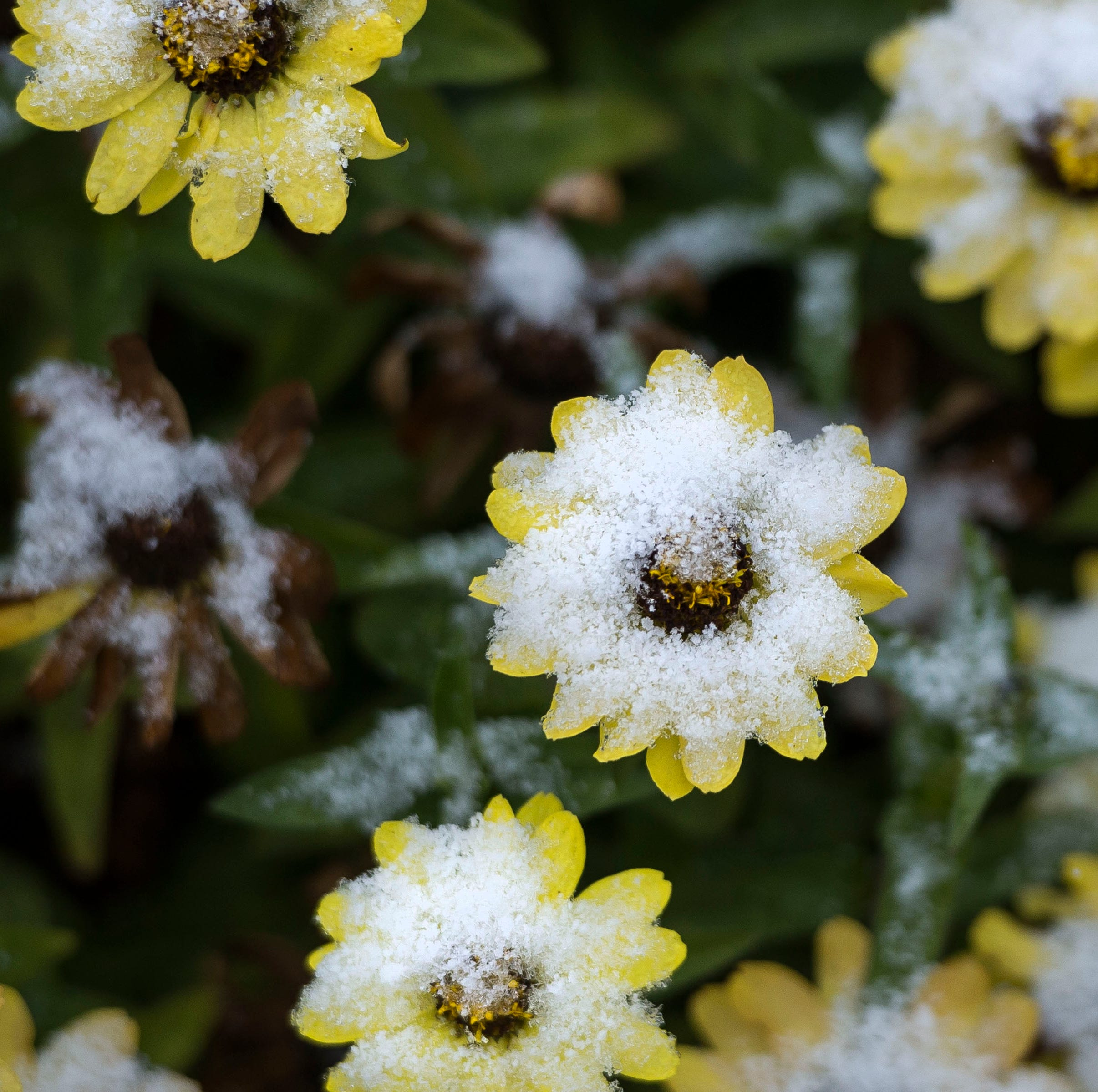 Tips to protect your plants, sprinkler system with blast of cold, snow in forecast