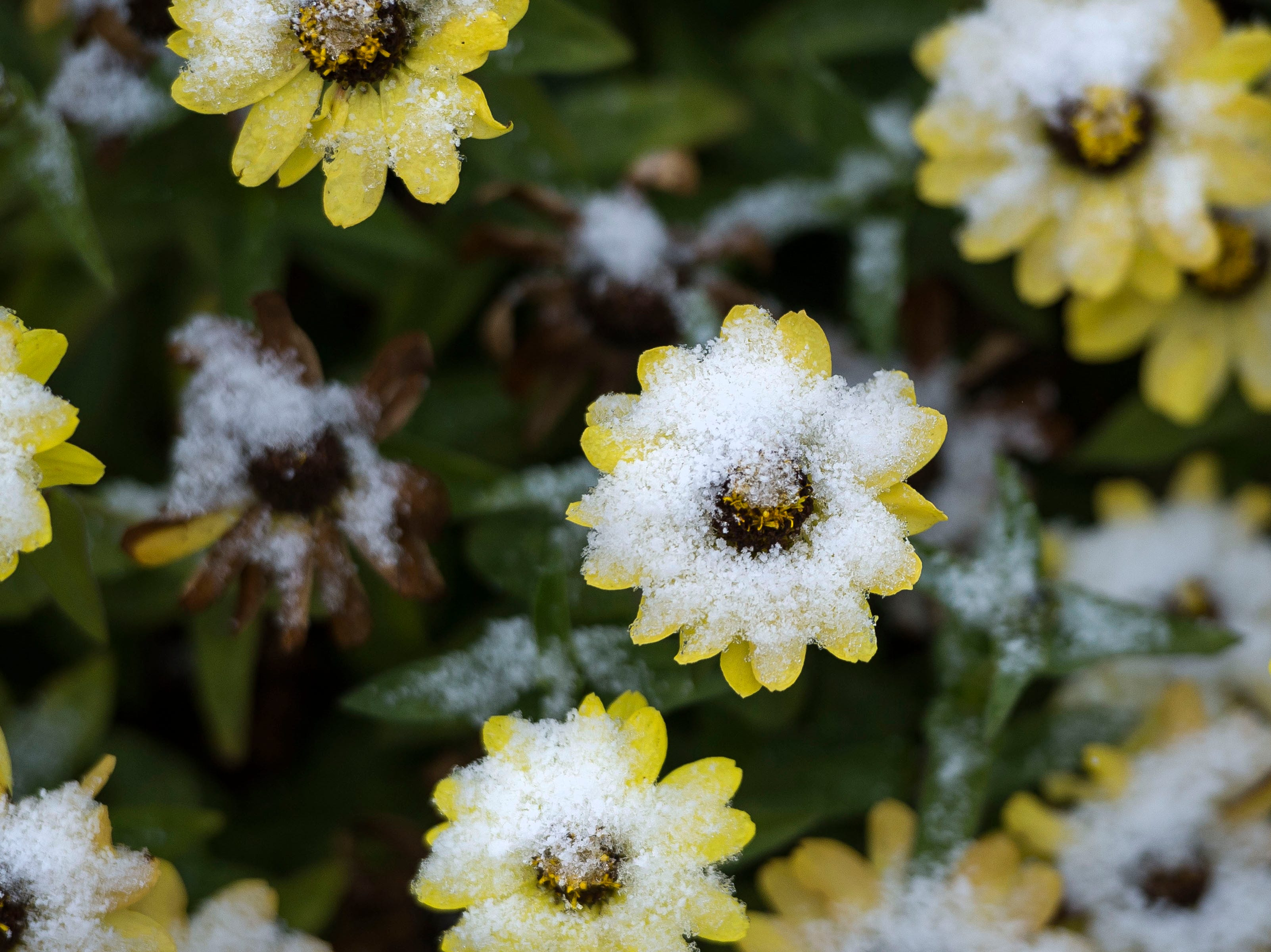 Snow clings to flower pedals on Wednesday, Oct. 10, 2018, at the Annual Flower Trial Garden on the Colorado State University campus in Fort Collins, Colo.