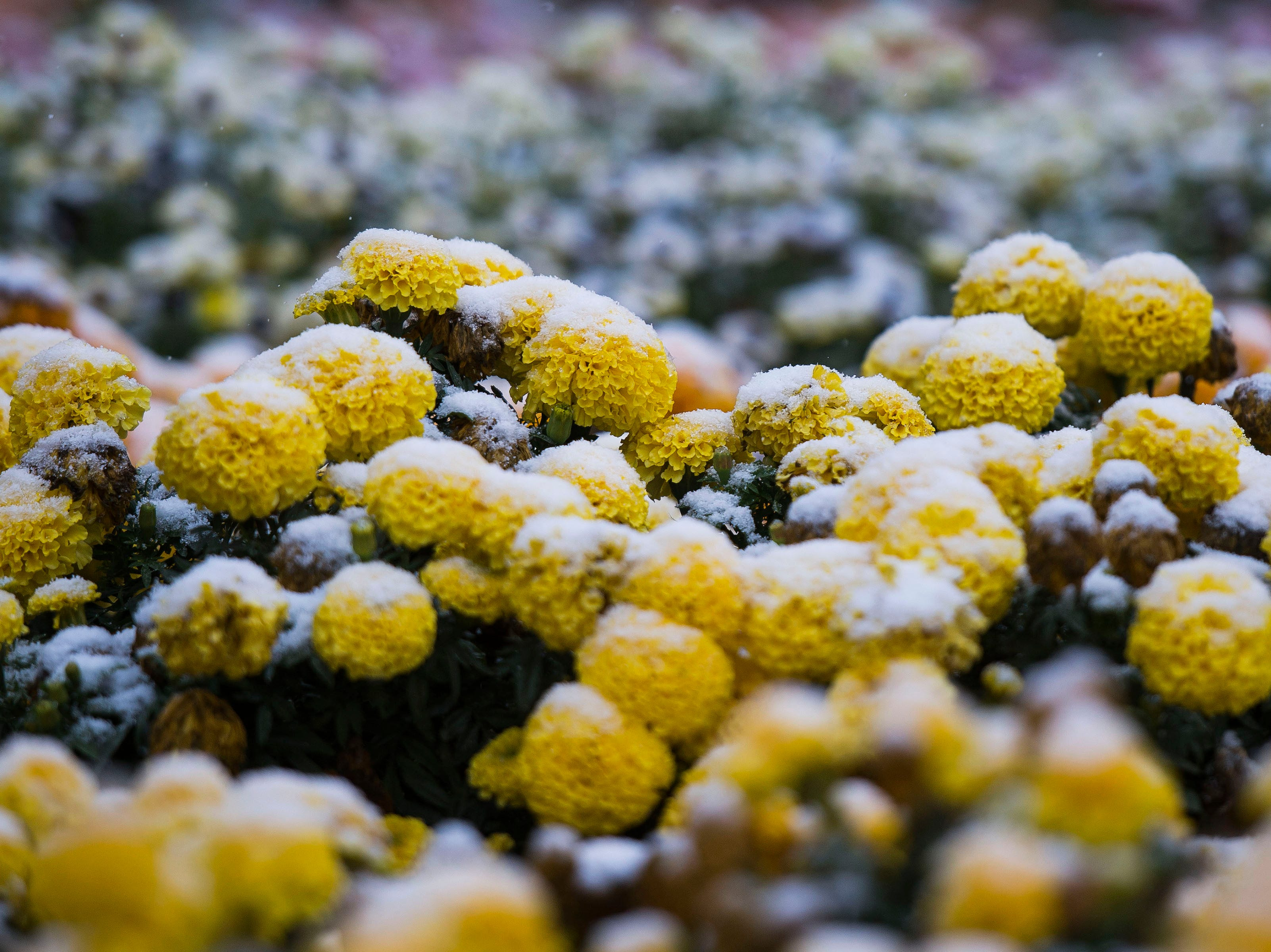 Flowers are covered by snow on Wednesday, Oct. 10, 2018, at the Annual Flower Trial Garden on the Colorado State University campus in Fort Collins, Colo.