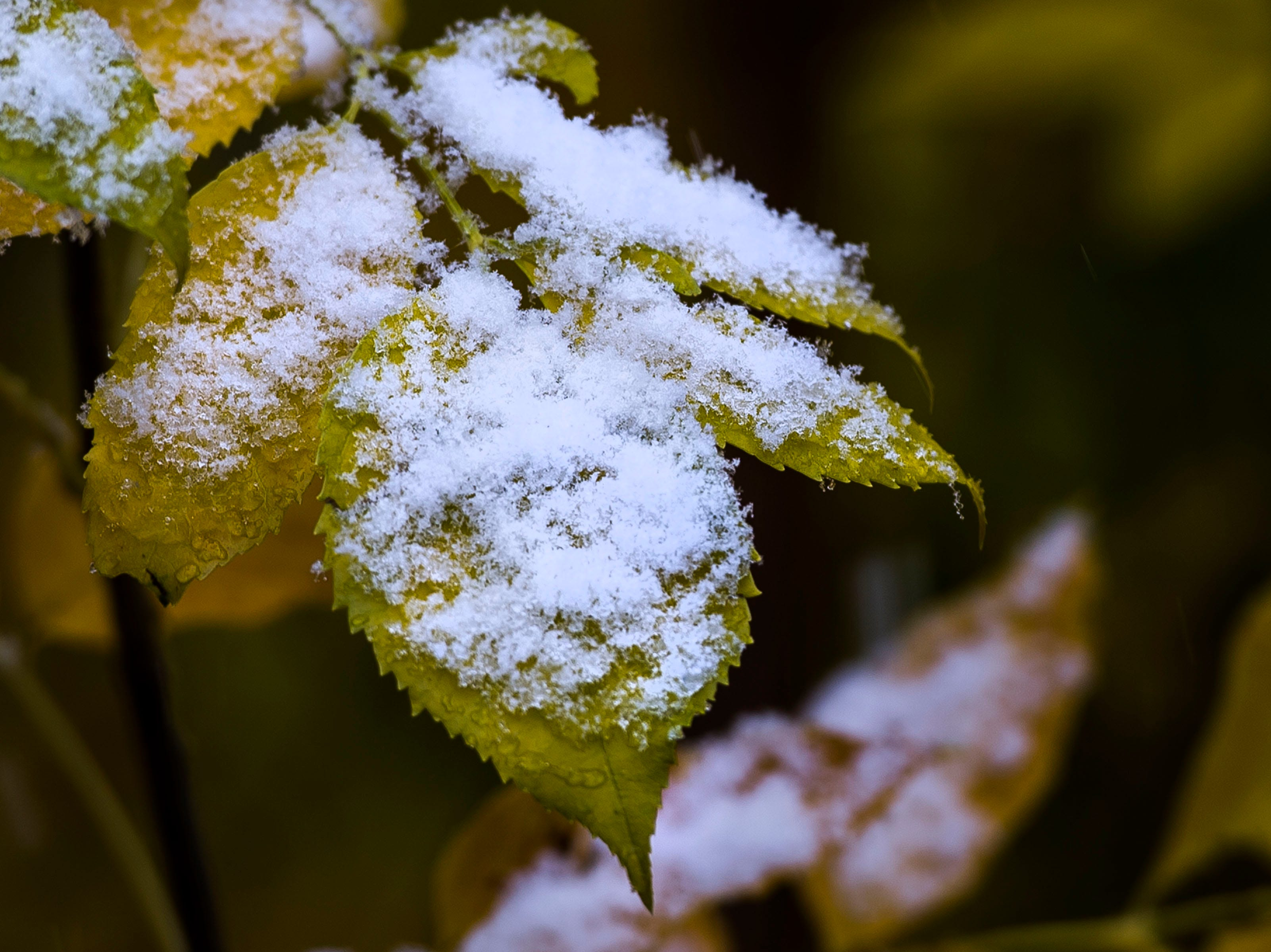 A leaf is covered in newly-fallen snow on Wednesday, Oct. 10, 2018, next to the Cache la Poudre River in Fort Collins, Colo.