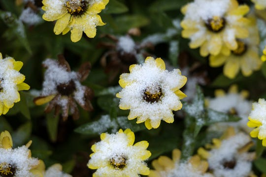 Fort Collins stayed dry Monday but Denver received more snow than it expected. In this October 2018 file photo from Fort Collins, flowers are pictured with a dusting of snow.