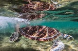 A green sea turtle found in December 2017 with spear wounds made a full recovery and was released back into the sea today, after 10 month in treatment. WARNING: Video contains images of the wounds that may be disturbing for some viewers.