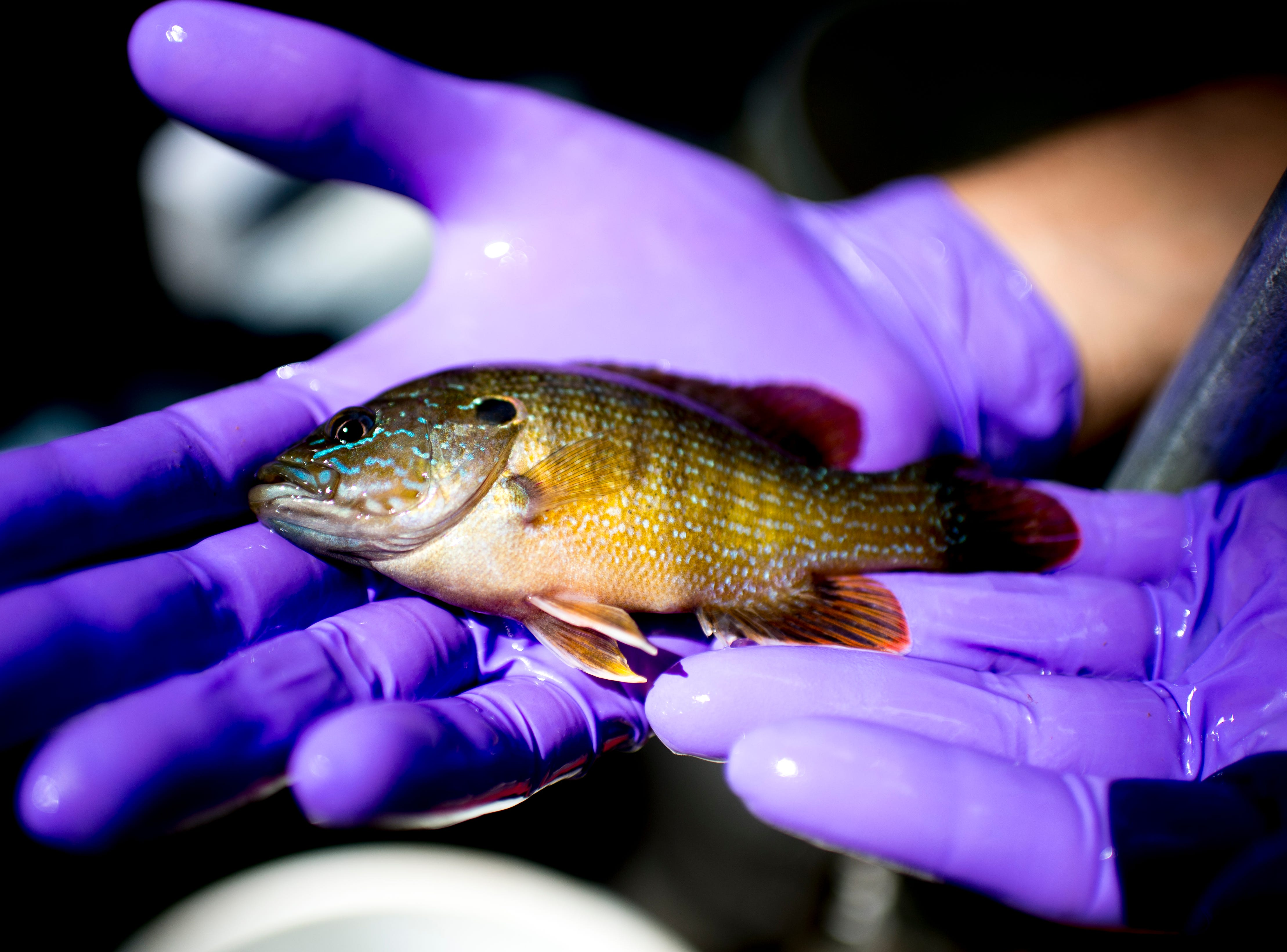 ORNL Aquatic Technology Technician Trent Jett holds a green sunfish caught in the stream during a field research trip by ORNL scientists at the East Fork Poplar Creek in Oak Ridge, Tennessee on Friday, September 7, 2018. Scientists compare streams that have been impacted by human development to streams in less developed areas to understand its impact on the health of streams and wildlife.