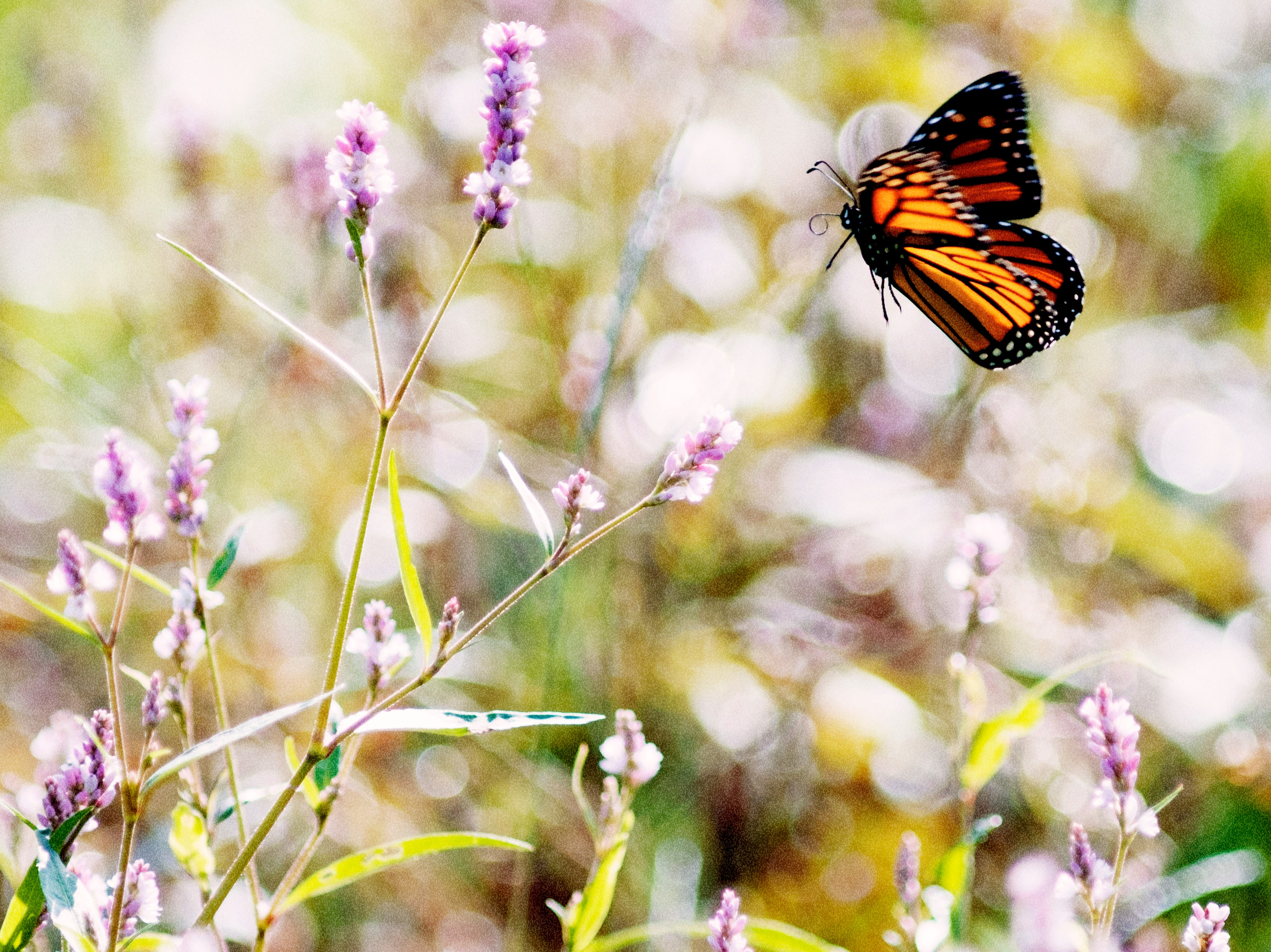 A monarch butterfly lands on a pink-flowering Persicaria plant in a meadow at Cherokee Farms in Knoxville, Tennessee on Sunday, September 30, 2018. Plants of the genus Persicaria are commonly known as knotweed or smartweed. These plants, which are native to Europe and West Asia, typically bloom during the summer into autumn and attracts insects like butterflies and bees.