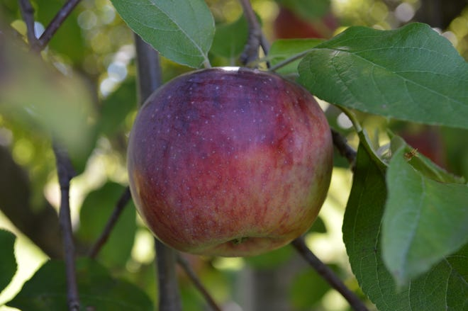 Keith Schmidt, co-owner of the Elegant Farmer, said to look for an apple that's the size of a hardball or larger with coloring.