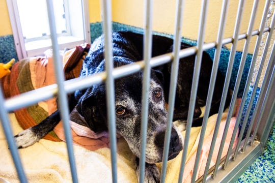 Dixie, who was rescued from the Tallahassee Animal Service Center the day before Hurricane Michael made landfall, lies in her cage at the Humane Society Naples main shelter on Wednesday, Oct. 10, 2018.