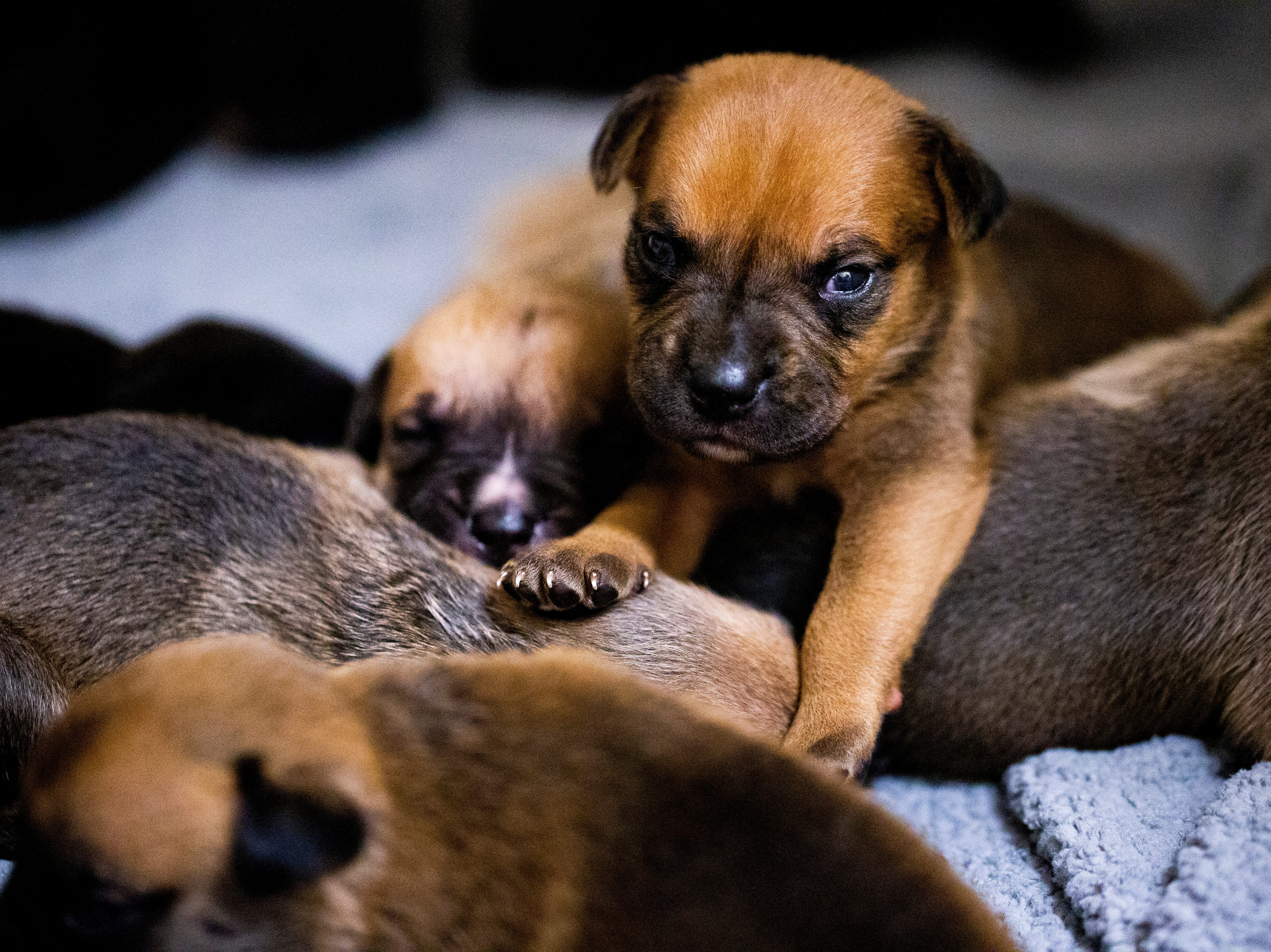 Nine terrier mix puppies, seen here at the Humane Society Naples main shelter on Wednesday, Oct. 10, 2018, along with their mother and other dogs in the path of Hurricane Michael, were rescued by the Humane Society Naples the day before the storm made landfall in the Panhandle.