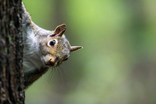 #stock Squirrel Stock Photo