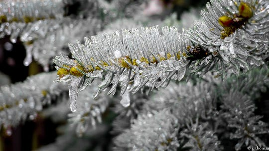 Each pine needle is coated in an icy sheath.