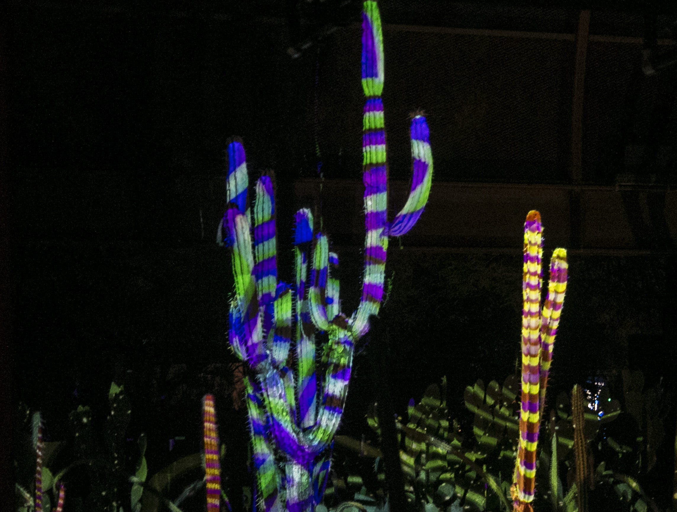 Lights from the new exhibit, 'Electric Desert' wash over the cacti at the Desert Botanical Garden in Phoenix, Ariz. on Sept. 27, 2018.