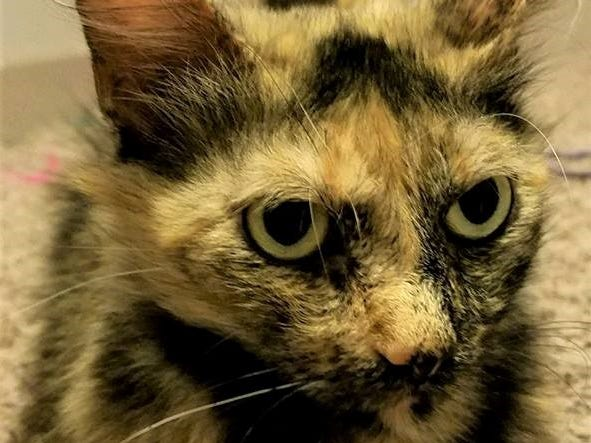 Gaia is a young lady with silky fur and tortie markings. She is affectionate, laid back and has an independent personality. For more information, visit www.meowvillage.org or call or text Sara at 503-522-0082.