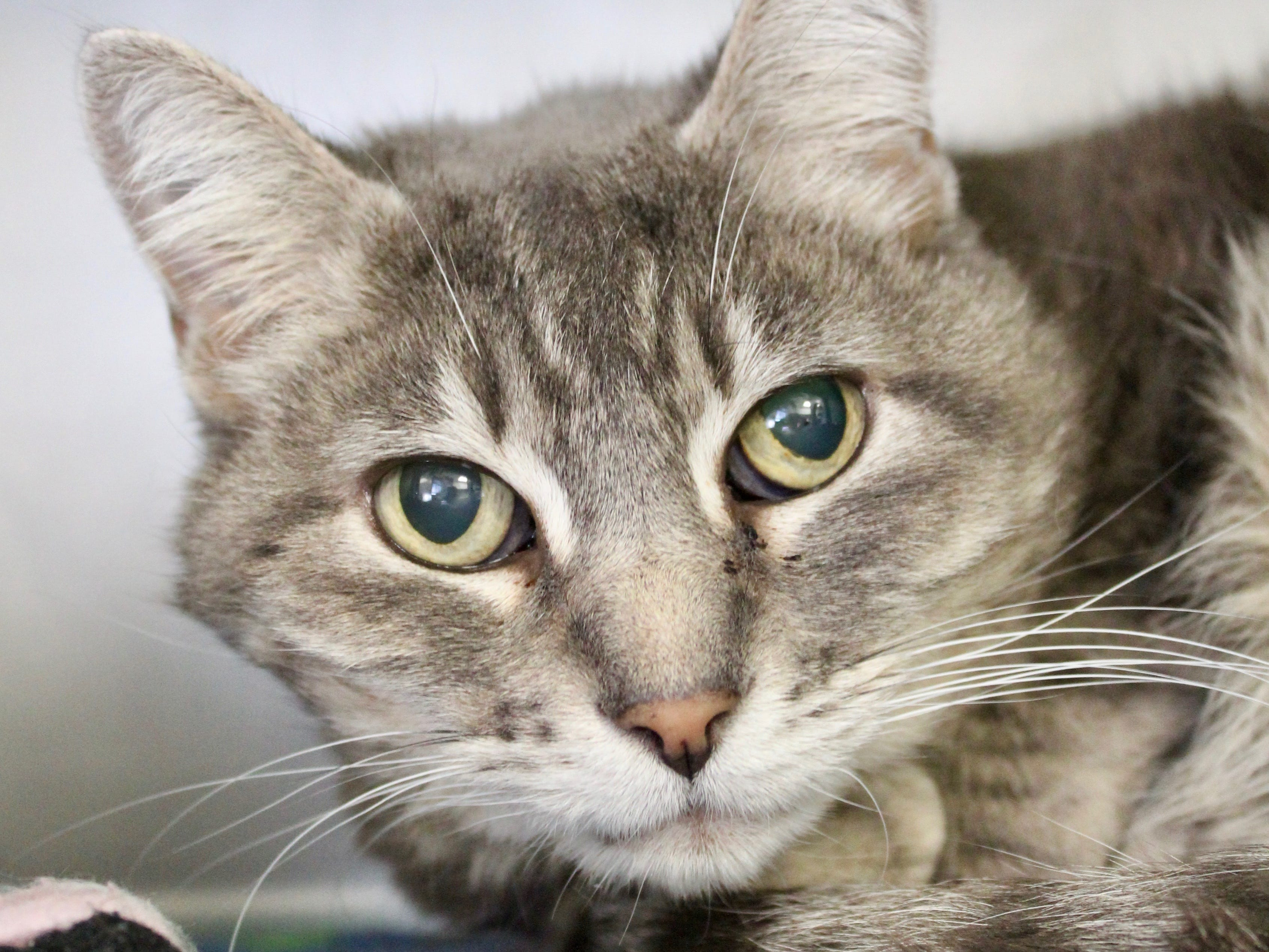 Spud is a 16-year-old short-haired tabby. She can be a little shy, but she is incredibly loyal and loving to those she knows well. Spud gets along nicely with cats, but it is unknown how she feels about dogs or children. For more information, go to https://whs4pets.org/adopt-a-pet/pet-details/?id=39181431 or call Willamette Humane Society at 503-585-5900.