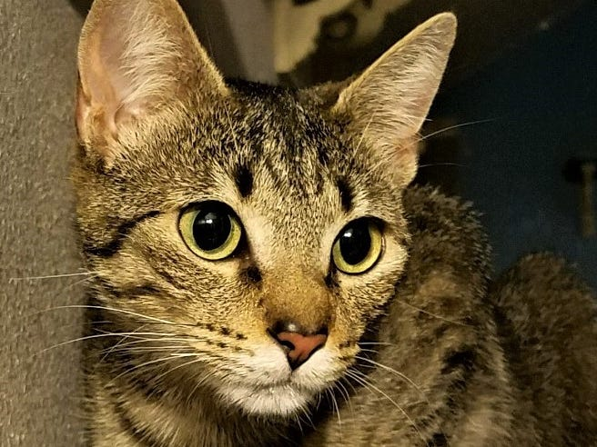 Merlot has a dominant personality, but she does have a playful side. She would do well in a home where she is allowed supervised outdoor time. Respectful kids and dogs are a good pairing with Merlot. For more information, visit www.meowvillage.org or call or text Sara at 503-522-0082.