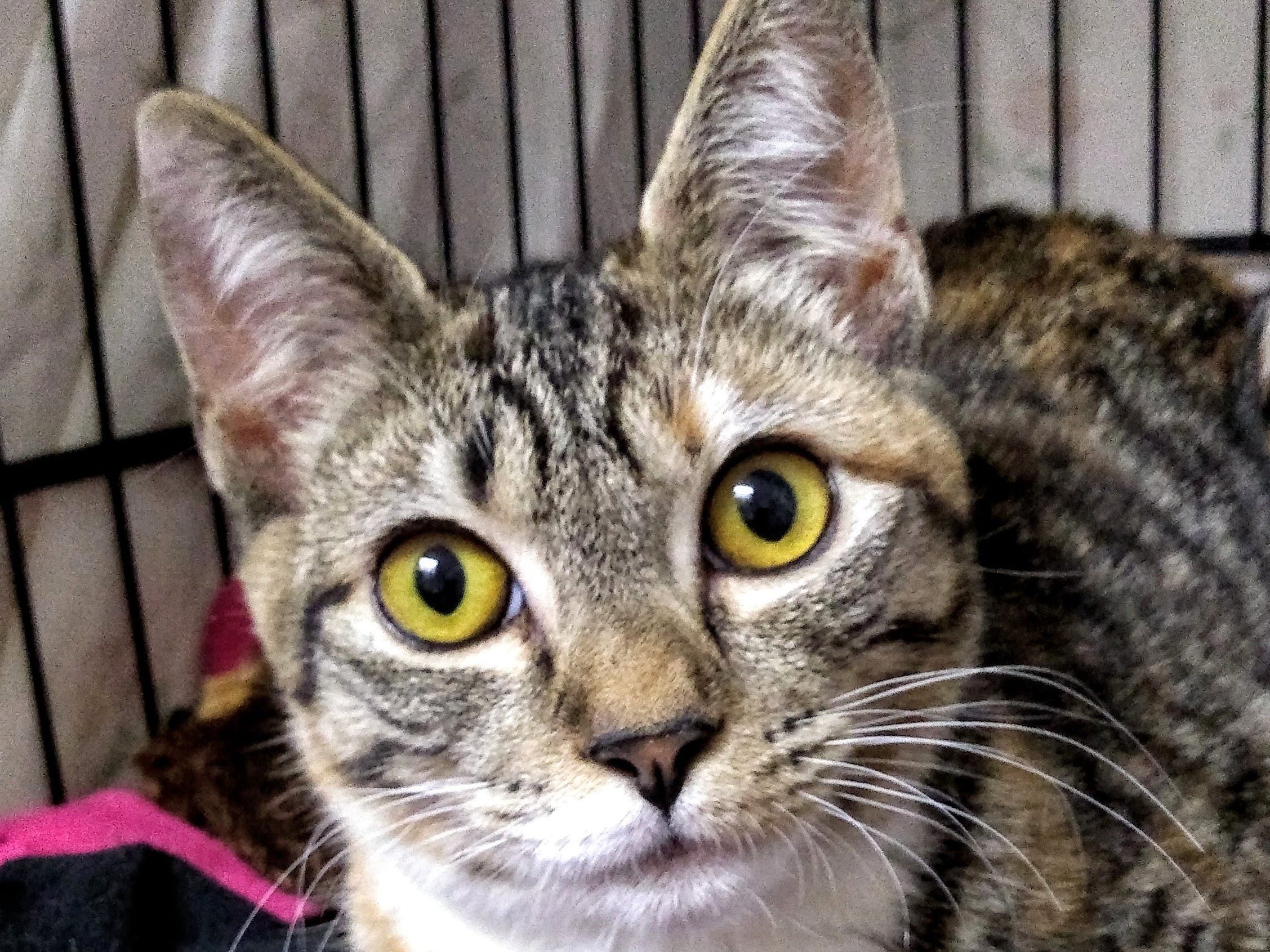 Lucy is a lovely 5-month-old Torbie who is a real lover. She is friendly, mellow and affectionate. Lucy will do well with respectful children of all ages. She is not fond of other cats and must live indoors. For more information, visit www.sfof.org or call 503-362-5611.