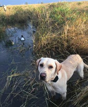 The author's yellow Lab, Buddy, was ready for action on a recent duck hunt.