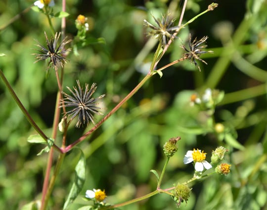 Spanish needles (Bidens alba) gets its name from their needle-like seed. Copious amounts are produced locally every year so the bloom will continue uninterrupted.