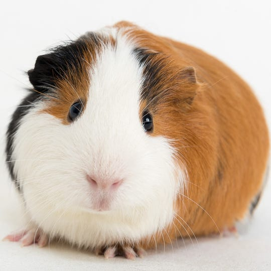 Male Guinea pig Matcha