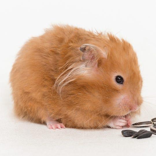 Female hamster Hamela Anderson