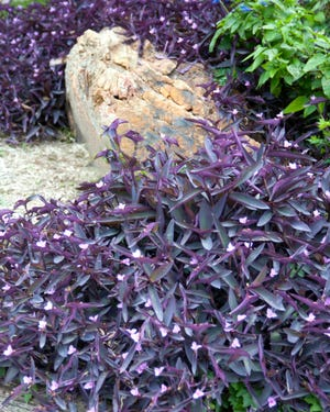 Purpleheart is winter-hardy in most winters, a beautiful ground cover.