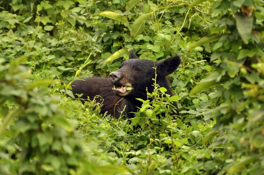 There are an estimated 1,500 black bears in the Great Smoky Mountains National Park, which is a bear sanctuary.