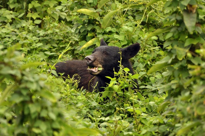 There are an estimated nearly 2,000 black bears in the Great Smoky Mountains National Park, which is a bear sanctuary.
