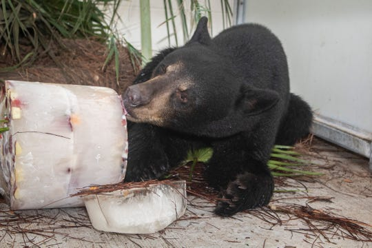 This 20-month-old Florida black bear will be the first permanent resident of Brevard Zoo's new bear habitat, scheduled to open in early 2019.