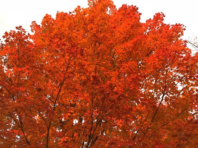 The tops of the trees were red hot on Shelburne, Vermont, maple trees during sunset on Wednesday, Oct. 10, 2018.