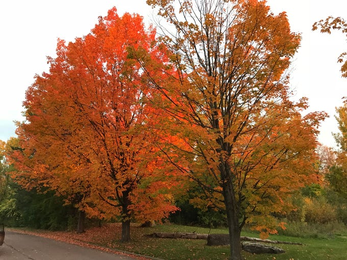 As the sun set on Wednesday, Oct. 10, 2018, the angle and intensity of the light made the leaves of trees along Route 7 in Shelburne, Vermont, look like they were on fire.