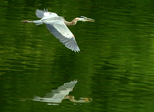 A great blue heron glides above the water of Doe Run Lake in Kenton County. The 30-acre lake is surrounded with hiking trails and picnic areas.