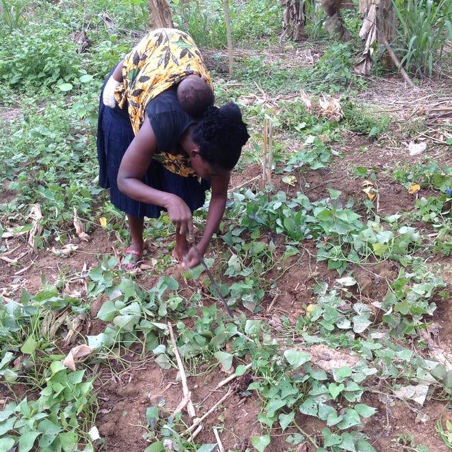 Felicia Mensah weeds her plot of orange flesh sweet potatoes with her baby, Amos, on her back.