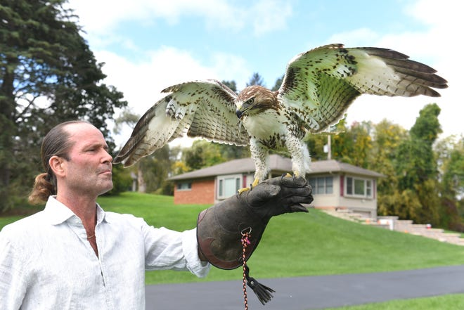 Dr. Kevin Smyth releases a recovered red tailed hawk in Plymouth Township on October 11, 2018. Smyth, a veterinarian at Morrison Animal Hospital in Garden City, is among the few licensed wildlife rehabilitators in the state specializing in treating raptors.