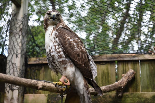 A red tailed hawk to be released by Dr. Kevin Smyth after a motorist found the bird along I-275 in Plymouth a week ago.  Smyth, a veterinarian at Morrison Animal Hospital in Garden City, is among the few licensed wildlife rehabilitators in the state specializing in treating raptors.