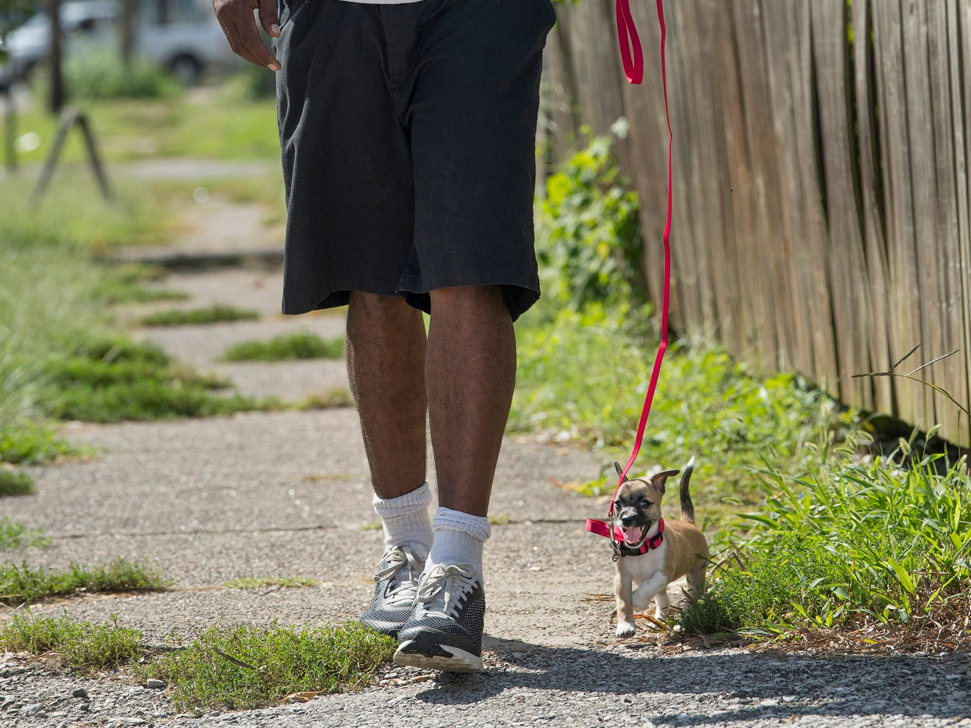 "Brandon Pipper of Evansville walks his yet-to-be-named Chihuahua puppy out for a stroll using a leash for the first time Monday morning, September 17, 2018. Pipper got the puppy Sunday as a surprise gift for his kids. ""She's spoiled,"" he said. ""The kids are gonna love her."""