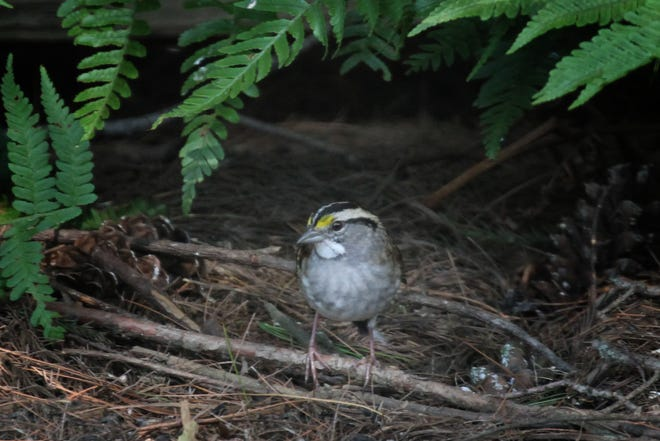 The first White-throated Sparrows of the winter arrived this past week in the Tri-State.